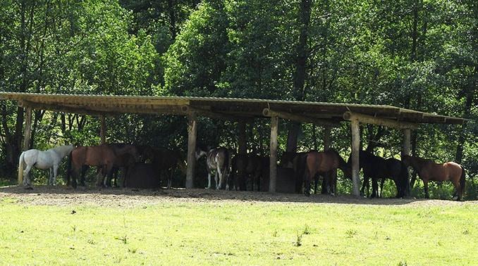 Nutztiere-im -Sommer-Schattenunterstand-678