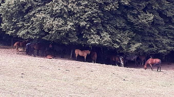 Nutztiere-im -Sommer-natuerlicher-Schatten678